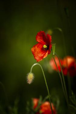 All Stages of Red Poppies Flowering by Sheila Haddad