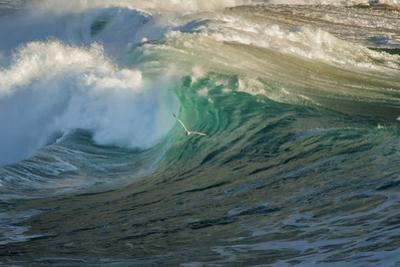 Carmel Beach, California, Bird Flying in Breaking Wave by Sheila Haddad