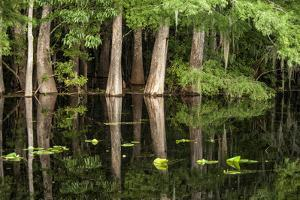 Cedar Trees in Suwannee River, Florida, USA by Sheila Haddad