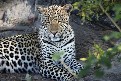 Close Up Leopard Portrait Sitting by Sheila Haddad