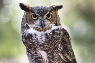 Close Up Portrait of Great Horned Owl Looking at You by Sheila Haddad