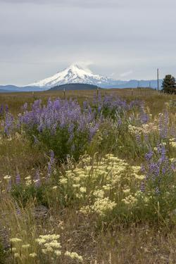 Field of wildflowers, mostly lupin are in contrast to the snowcapped Mt. Jefferson by Sheila Haddad