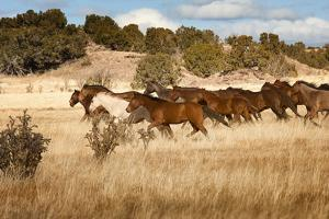 Herd of Horses Running on Dry Grassland and Brush by Sheila Haddad