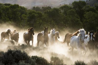 Horses running, kicking up dust at sunrise by Sheila Haddad