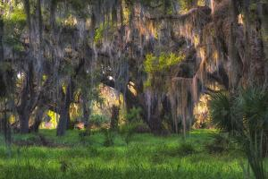Large oak tree covered with hanging Spanish moss by Sheila Haddad