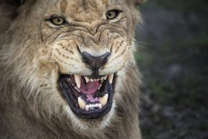 Male Lion Growling, Close Up by Sheila Haddad