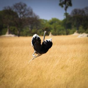 Male Ostrich Running in Grass, Leaning to Right by Sheila Haddad