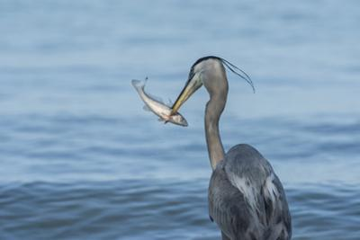 Morning Fish Catch by Great Blue Heron, with Water Splashes by Sheila Haddad