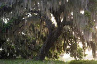 Morning Light Illuminating the Moss Covered Oak Trees in Florida