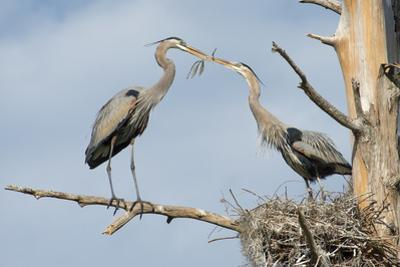 Nesting Great Blue Herons Passing Nest Material to Each Other by Sheila Haddad