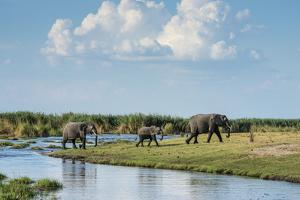 Okavango Delta, Family of Elephants Crossing River by Sheila Haddad