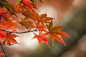 Red Japanese Maple Leaves in Fall by Sheila Haddad