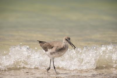 This Willet Has His Next Meal by Sheila Haddad