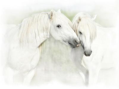 Two White Horses of Camargue, French, Nuzzling
