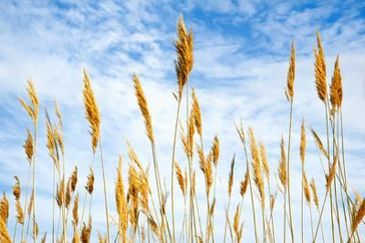 Wheat blowing in the wind by Sheila Haddad