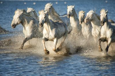 White Horses of Camargue, France, Running in Blue Mediterranean Water