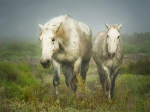 White Horses of Camargue in Field, Painterly Look by Sheila Haddad