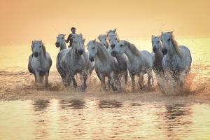 White Horses of Camargue Running in Mediterranean Water at Sunrise by Sheila Haddad