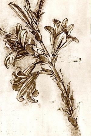 Leonardo Da Vinci's Lilies.