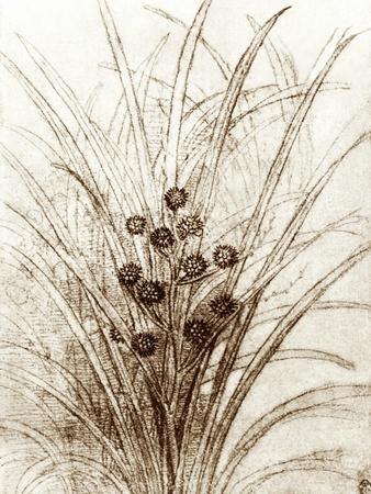 Leonardo Da Vinci's Rushes In Flower