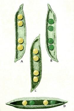 Mendel's Peas by Sheila Terry