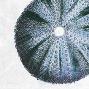 Urchin Shell 3 by Sheldon Lewis