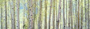 Aspen by Shelley Lake