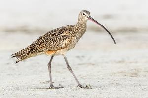 Long Billed Curlew by Shelley Lake