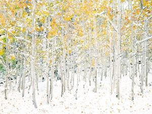 Quaking Aspens by Shelley Lake