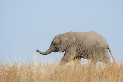 African Elephant (Loxodonta africana) young, walking through dry grass, Tuli Block by Shem Compion