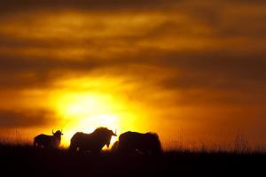 Black Wildebeest (Connochaetes gnou) adults, silhouetted on highveld at sunrise, Pretoria by Shem Compion