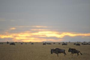 Blue Wildebeest (Connochaetus taurinus) adult and immature, running near herd, Masai Mara by Shem Compion