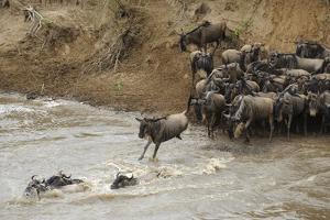 Blue Wildebeest (Connochaetus taurinus) herd, at river crossing on migration, Entim, Masai Mara by Shem Compion