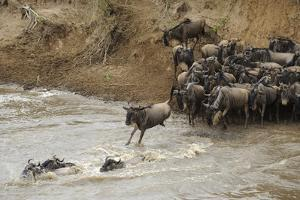 Blue Wildebeest (Connochaetus taurinus) herd, at river crossing on migration, Entim, Masai Mara by Shem Compion