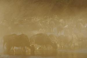 Blue Wildebeest (Connochaetus taurinus) herd, drinking, Masai Mara by Shem Compion