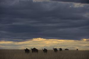 Blue Wildebeest (Connochaetus taurinus) herd, Kenya by Shem Compion