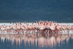 Lesser Flamingo (Phoenicopterus minor) adults, Great Rift Valley by Shem Compion