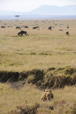Lion (Panthera leo) adult female, hunting, Masai Mara by Shem Compion
