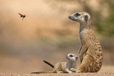 Meerkat (Suricata suricatta) adult 'baby-sitter' with young, South Africa by Shem Compion