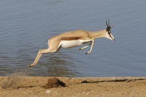 Springbok (Antidorcas marsupialis) adult, leaping beside waterhole, Etosha , Kunene by Shem Compion