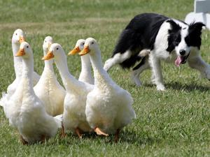Shep, a Two-Year Old Border Collie, Herds Ducks