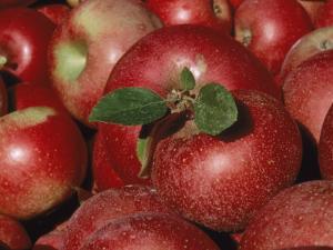 Harvested Apples by Sherwood Hoffman