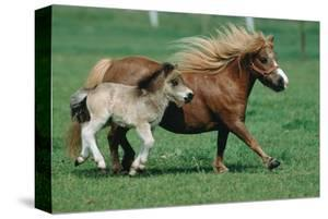 Shetland pony mare with foal