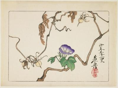 Vine and Seeds of Morning Glory, 1877