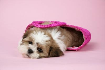 Shih Tzu 10 Week Old Puppy in Shopping Bag