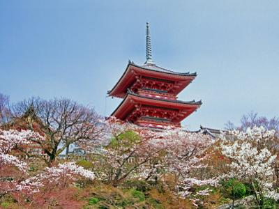 Cherry Blossom, Kyoto, Japan by Shin Terada