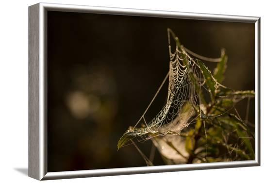Shiny cobweb on dry plant, nature dark background-Paivi Vikstrom-Framed Photographic Print