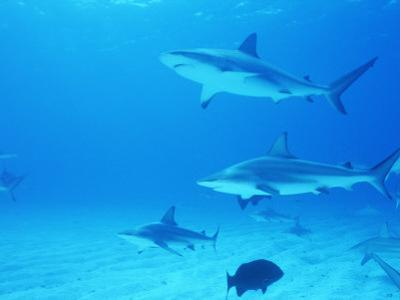 Reef Sharks, Walker's Cay, Bahamas by Shirley Vanderbilt