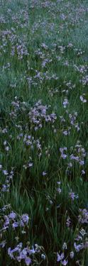 Shooting Star Flowers (Dodecatheon Meadia) in a Field, Crane Flat, Yosemite National Park