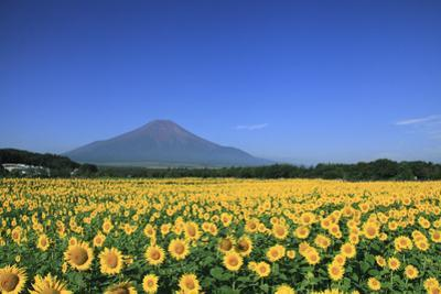 Sunflower Field and Mount Fuji by SHOSEI/Aflo